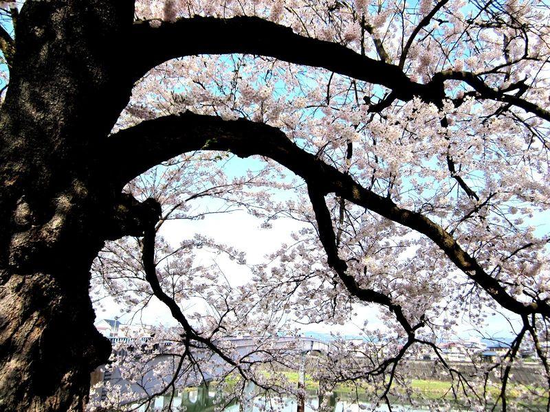Sakura_006[2]